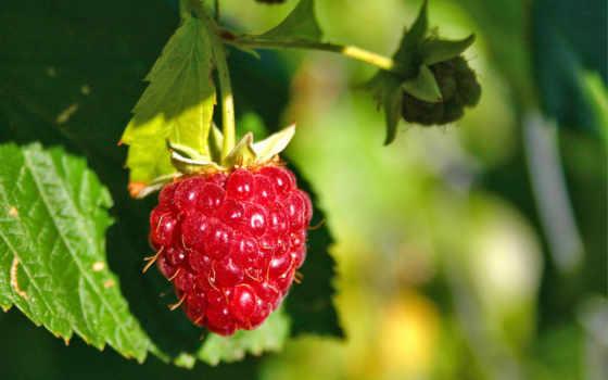 ягоды, малинка