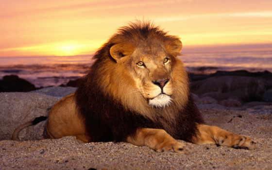 львы, lion, всегда