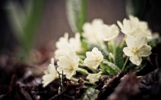 цветы, картинка, макро
