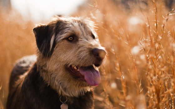 собака, поле, para
