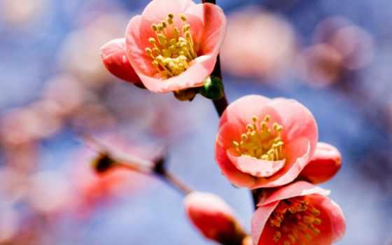 cvety, цветы, branch, весна, абрикос, magnificent, розовый,