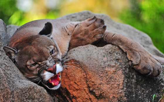 кот, фон, images, animals, cougar,