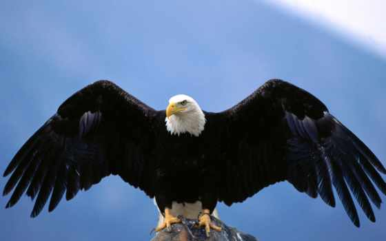 птицы, крыльев, scope, крылья, белоголовый, орлан, melencow,