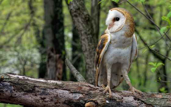обыкновенная, сова, сипуха, log, лес, warbler, high, free,