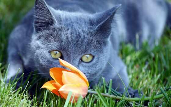 кот, тюльпан, трава, cvety, взгляд, бакенбарды, морда, цветы, ноутбук