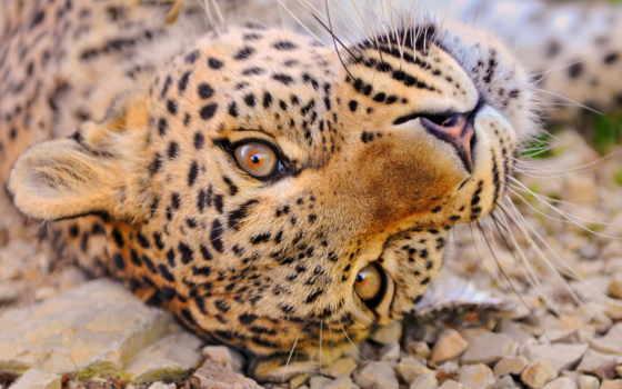леопард, взгляд, дымчатый
