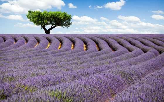 lavender, поле, природа
