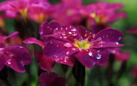 cvety, роса, макро
