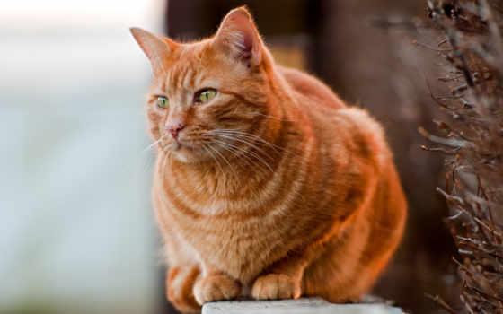 рыжие, коты, рыжих, red, котов, кошки, кот, породы, порода, их,