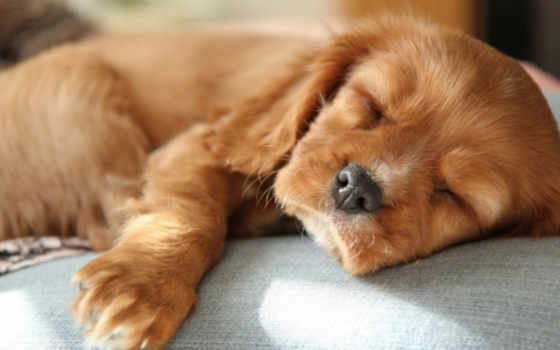 щенок, spaniel, nice, charles, king, собака, red, спать,