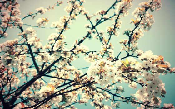 цветы, весна, вишня