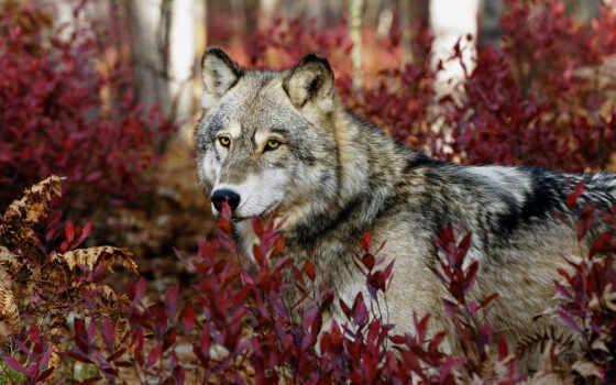 взгляд, волк, серый