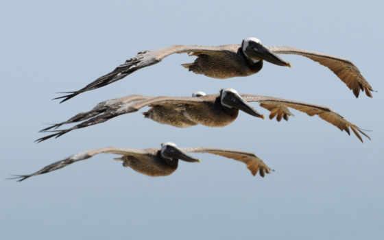 flying, pelicans, фотоохота