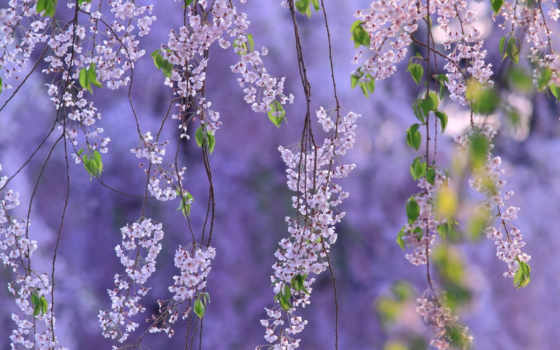 cvety, нежные, весна, весенние, сиреневые, цитатник, красивейшие,