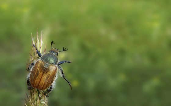 жук, майский, зелёный, насекомое, макро, сидит,