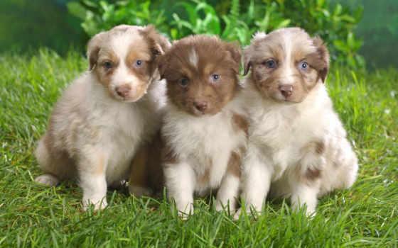 australian, овчарка, австралийская, puppies, собака,