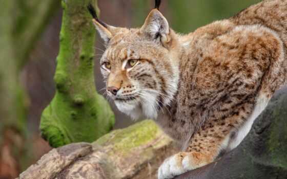 животные, хищник, bobcat, природа, рысь, wild, outdoors, кот, portrait, биг, смотреть