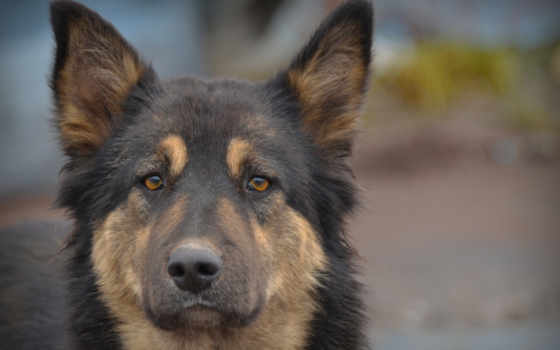 темный пес