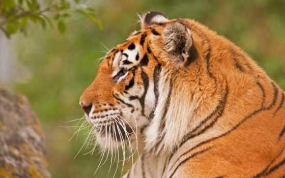 тигр, морда, разрешений