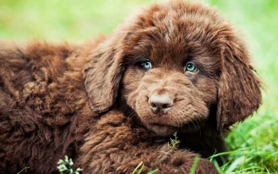 щенок, ньюфаундленд, собаки
