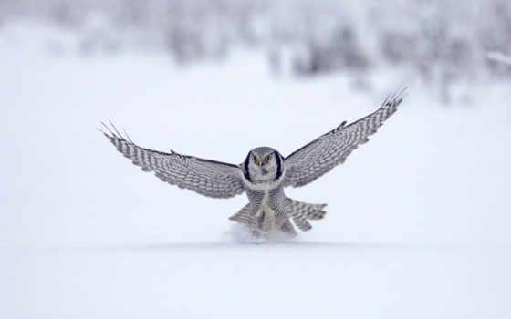 сова, winter, falcon