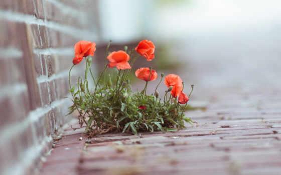 cvety, маки, широкоформатные, городские,