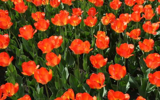красные, цветы, тюльпаны