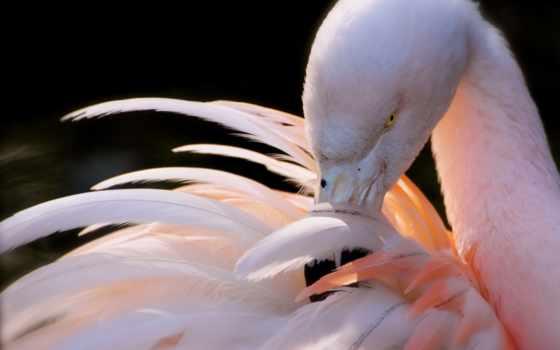 перья, фламинго, птицы, розовый, чистит, птица, клюв,