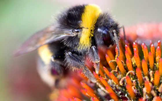 пчелка, макро