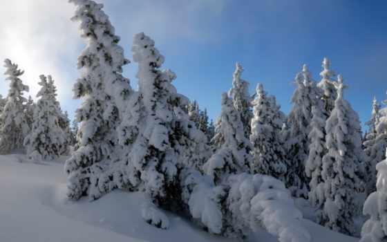заснеженные, елки, eli, winter, trees, лес, снег, хвойные, сугробы,