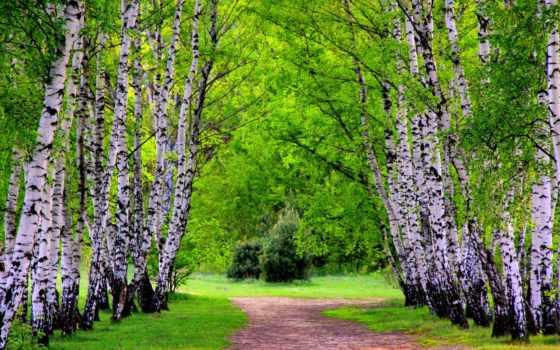 trees, березы, природа, весна, лес, summer, высоком, осень, зелёный,