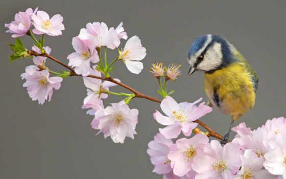 branch, птица, tit, цветы, cherry, free, цветение, есте, lazorevka