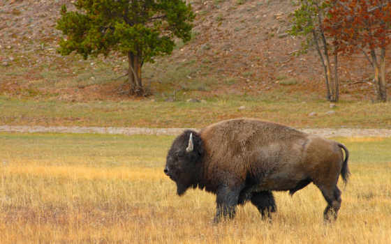 bizon, бизон, трава