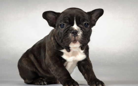 бульдог, francuski, szczeniak, tapety, pies,