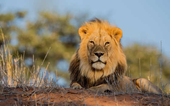 львы, саванна, lion