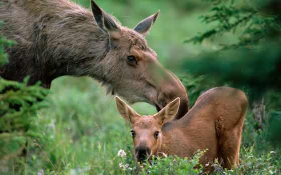 лося, лосенка, тельца, moose, тверь, области, лосят, июня,