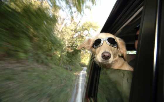 собака, окна, окно, смотрит, очках, you, автомобиля, zhivotnye, собаку,