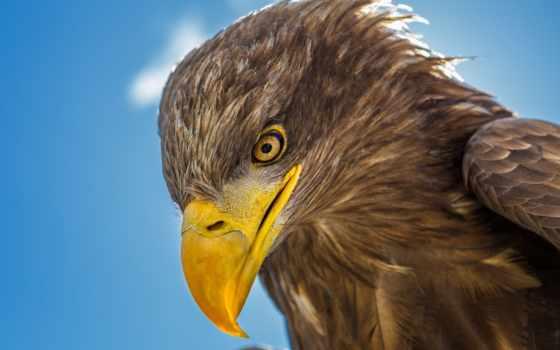 орлан, голова, клюв