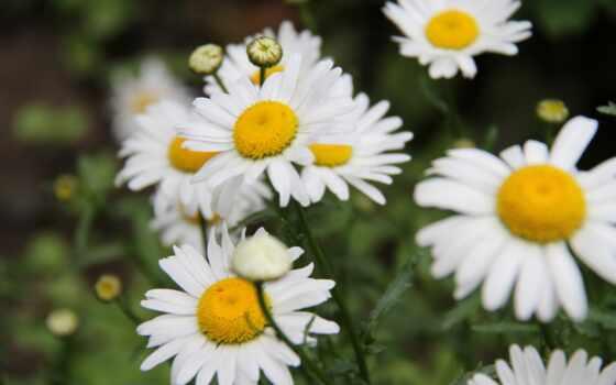 цветы, фон, cvety,