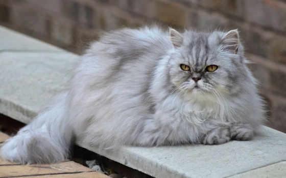 кот, пушистая, desktop, самых, persų, пушистый,