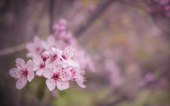 цветы, цветение, розовый, весна, branch, girly, сообщение, cherry, reverso, russian