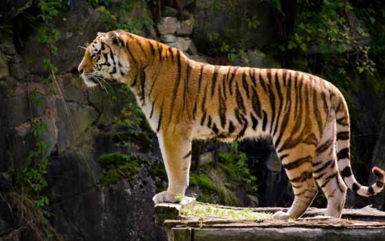 тигр, animal, хищник