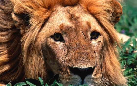 lion, хищников, зооклубе