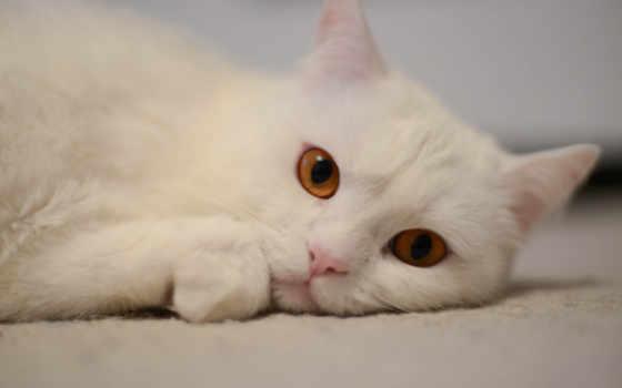 вконтакте, gato, именем, теме, white,