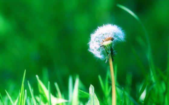 одуванчик, fone, природа, цветы, зеленой, травы, зелёный, разрешениях, разных,