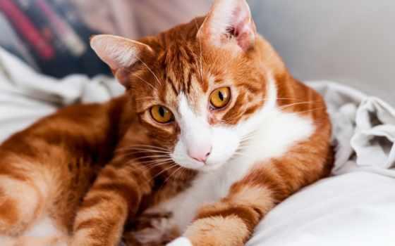 кот, взгляд, морда, red, полосатая, увеличить, рыжая, zhivotnye,