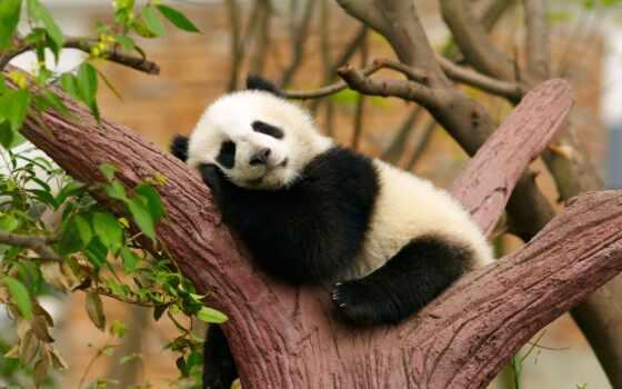 animal, интересно, funny, red, фото, детёныш, fact, панда, cute, порода