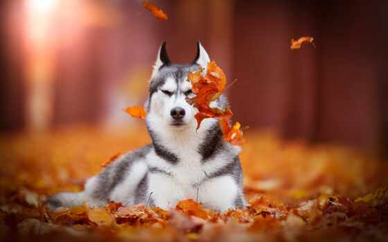 хаска, собака, осень, animal, лист, siberian