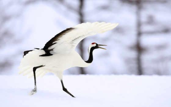crane, japanese, бежит, японии,