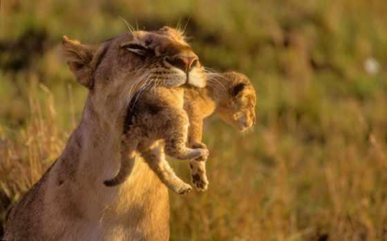 львы, lion, кошки, дикие, львята, zhivotnye, хищники, забота,